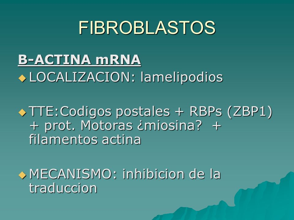 FIBROBLASTOS B-ACTINA mRNA LOCALIZACION: lamelipodios LOCALIZACION: lamelipodios TTE:Codigos postales + RBPs (ZBP1) + prot. Motoras ¿miosina? + filame