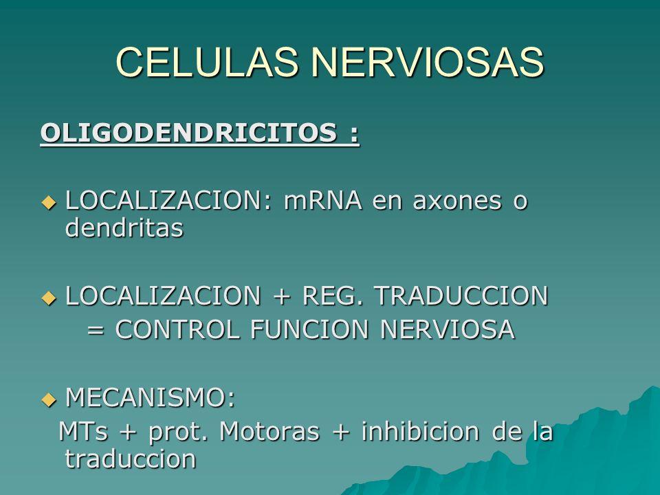 CELULAS NERVIOSAS OLIGODENDRICITOS : LOCALIZACION: mRNA en axones o dendritas LOCALIZACION: mRNA en axones o dendritas LOCALIZACION + REG. TRADUCCION
