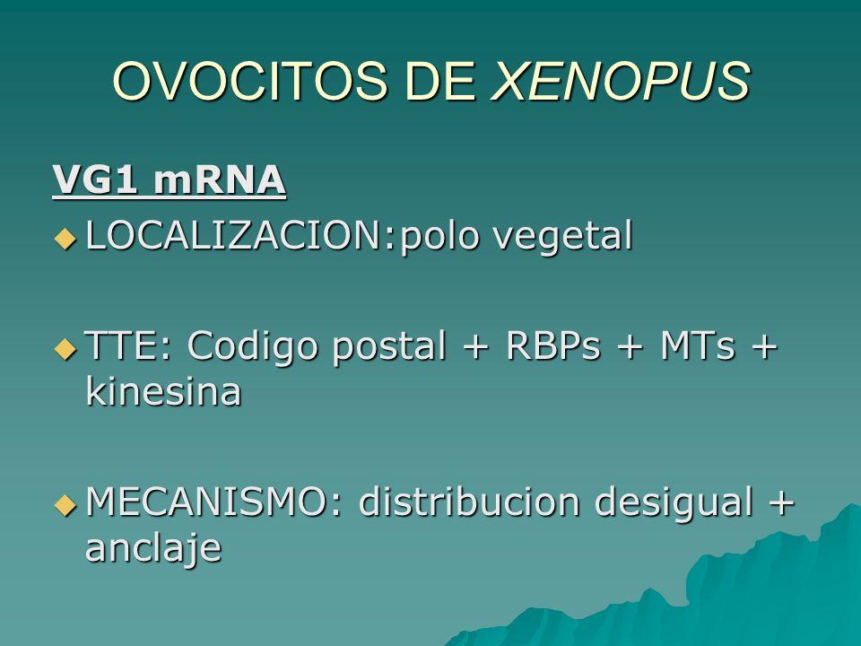 OVOCITOS DE XENOPUS VG1 mRNA LOCALIZACION:polo vegetal LOCALIZACION:polo vegetal TTE: Codigo postal + RBPs + MTs + kinesina TTE: Codigo postal + RBPs