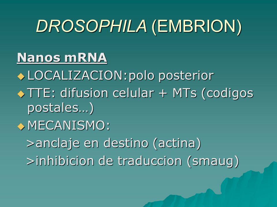 DROSOPHILA (EMBRION) Nanos mRNA LOCALIZACION:polo posterior LOCALIZACION:polo posterior TTE: difusion celular + MTs (codigos postales…) TTE: difusion