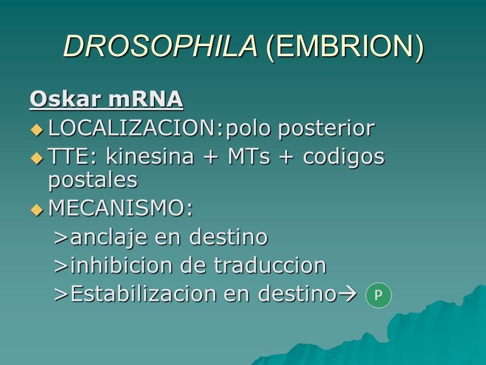 DROSOPHILA (EMBRION) Oskar mRNA LOCALIZACION:polo posterior LOCALIZACION:polo posterior TTE: kinesina + MTs + codigos postales TTE: kinesina + MTs + c