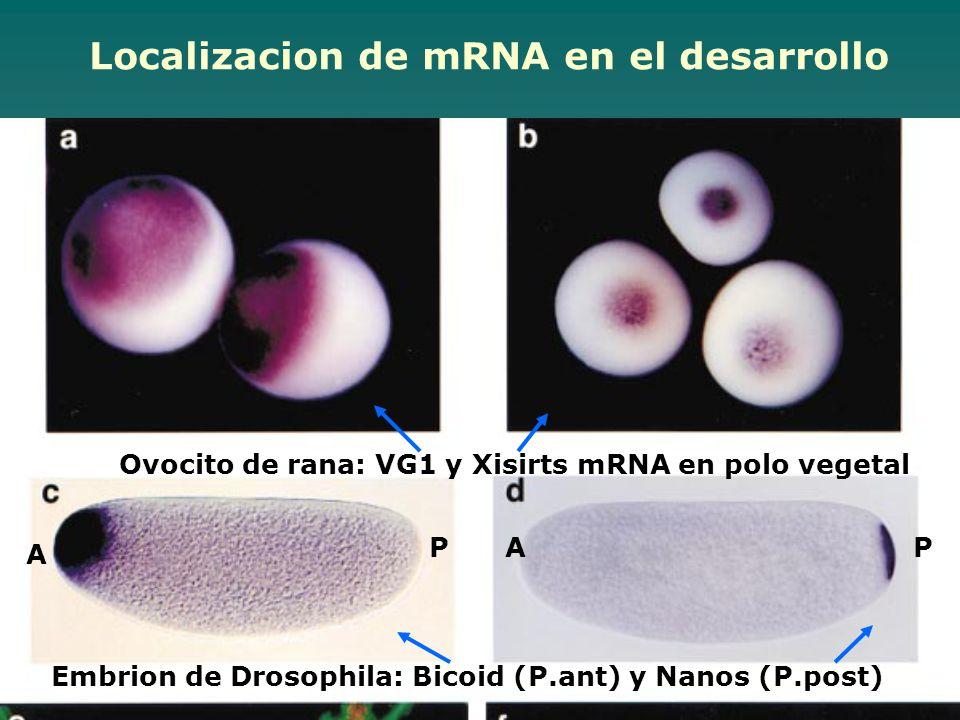 Ovocito de rana: VG1 y Xisirts mRNA en polo vegetal Localizacion de mRNA en el desarrollo Embrion de Drosophila: Bicoid (P.ant) y Nanos (P.post) A PAP