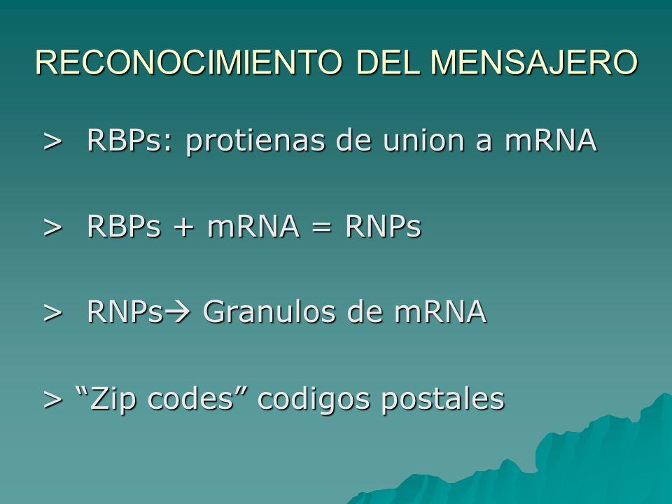 RECONOCIMIENTO DEL MENSAJERO > RBPs: protienas de union a mRNA > RBPs + mRNA = RNPs > RNPs Granulos de mRNA > Zip codes codigos postales