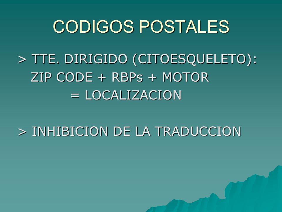 CODIGOS POSTALES > TTE. DIRIGIDO (CITOESQUELETO): ZIP CODE + RBPs + MOTOR ZIP CODE + RBPs + MOTOR = LOCALIZACION = LOCALIZACION > INHIBICION DE LA TRA