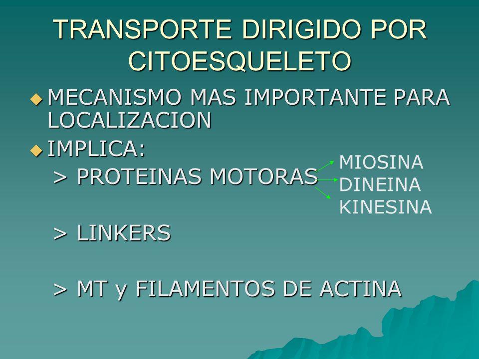 TRANSPORTE DIRIGIDO POR CITOESQUELETO MECANISMO MAS IMPORTANTE PARA LOCALIZACION MECANISMO MAS IMPORTANTE PARA LOCALIZACION IMPLICA: IMPLICA: > PROTEI