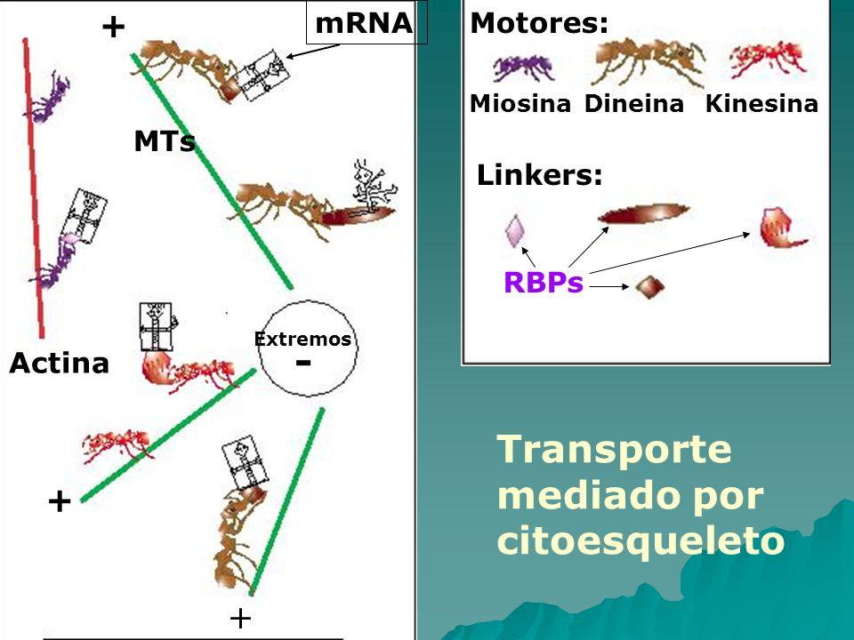 mRNA + + + Actina MTs Motores: MiosinaDineinaKinesina Linkers: RBPs Extremos - Transporte mediado por citoesqueleto