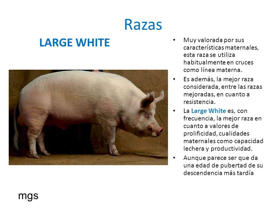 Razas LARGE WHITE Muy valorada por sus características maternales, esta raza se utiliza habitualmente en cruces como línea materna. Es además, la mejo