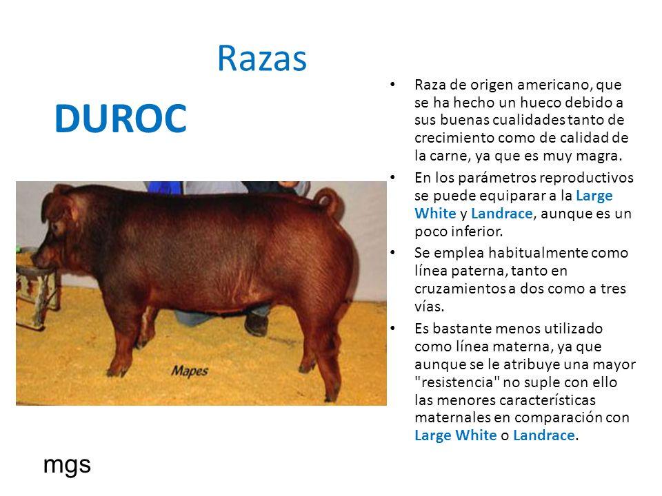 Razas DUROC Raza de origen americano, que se ha hecho un hueco debido a sus buenas cualidades tanto de crecimiento como de calidad de la carne, ya que