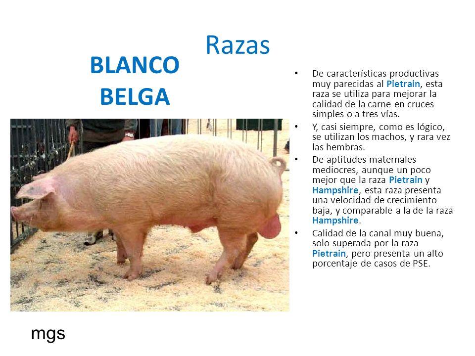 Razas BLANCO BELGA De características productivas muy parecidas al Pietrain, esta raza se utiliza para mejorar la calidad de la carne en cruces simple
