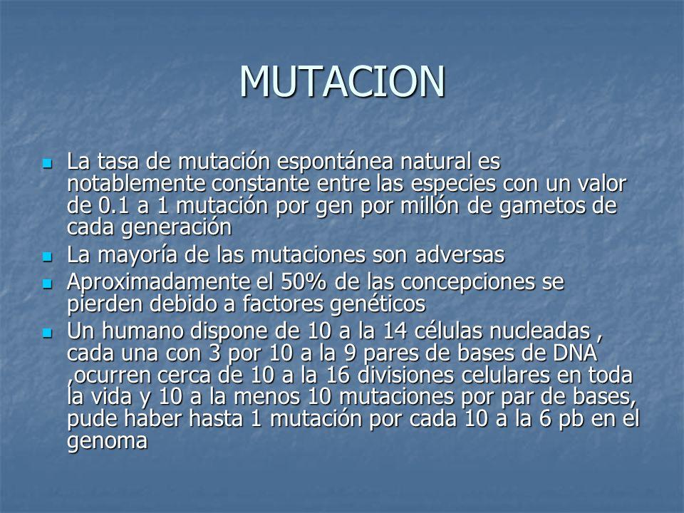 MUTACION La tasa de mutación espontánea natural es notablemente constante entre las especies con un valor de 0.1 a 1 mutación por gen por millón de gametos de cada generación La tasa de mutación espontánea natural es notablemente constante entre las especies con un valor de 0.1 a 1 mutación por gen por millón de gametos de cada generación La mayoría de las mutaciones son adversas La mayoría de las mutaciones son adversas Aproximadamente el 50% de las concepciones se pierden debido a factores genéticos Aproximadamente el 50% de las concepciones se pierden debido a factores genéticos Un humano dispone de 10 a la 14 células nucleadas, cada una con 3 por 10 a la 9 pares de bases de DNA,ocurren cerca de 10 a la 16 divisiones celulares en toda la vida y 10 a la menos 10 mutaciones por par de bases, pude haber hasta 1 mutación por cada 10 a la 6 pb en el genoma Un humano dispone de 10 a la 14 células nucleadas, cada una con 3 por 10 a la 9 pares de bases de DNA,ocurren cerca de 10 a la 16 divisiones celulares en toda la vida y 10 a la menos 10 mutaciones por par de bases, pude haber hasta 1 mutación por cada 10 a la 6 pb en el genoma