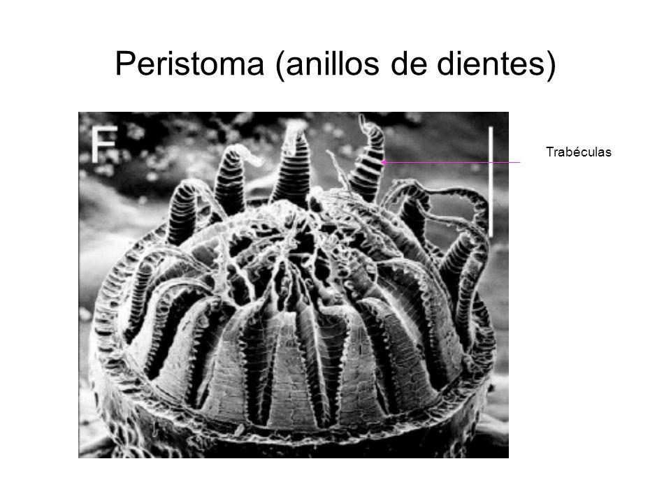 Peristoma (anillos de dientes) Trabéculas