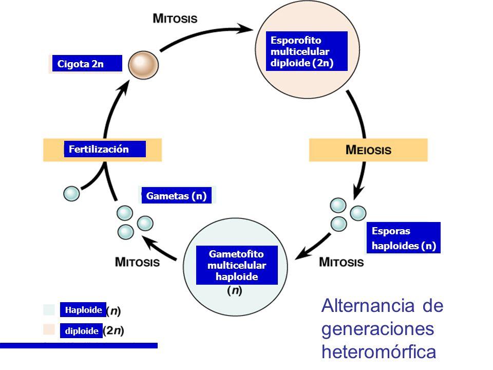 Alternancia de generaciones heteromórfica diploide Haploide Gametas (n) Gametofito multicelular haploide Esporas haploides (n) Esporofito multicelular