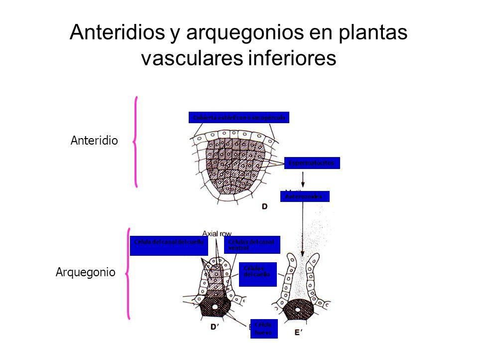 Anteridios y arquegonios en plantas vasculares inferiores Célula huevo Células del canal ventral Células del cuello Célula del canal del cuello Antero