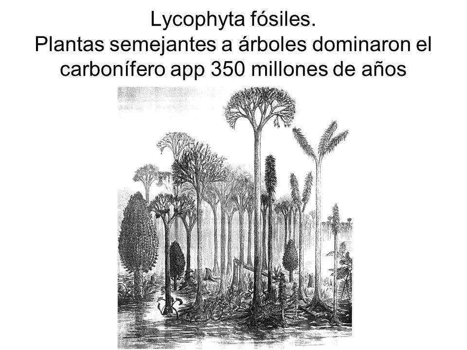Lycophyta fósiles. Plantas semejantes a árboles dominaron el carbonífero app 350 millones de años