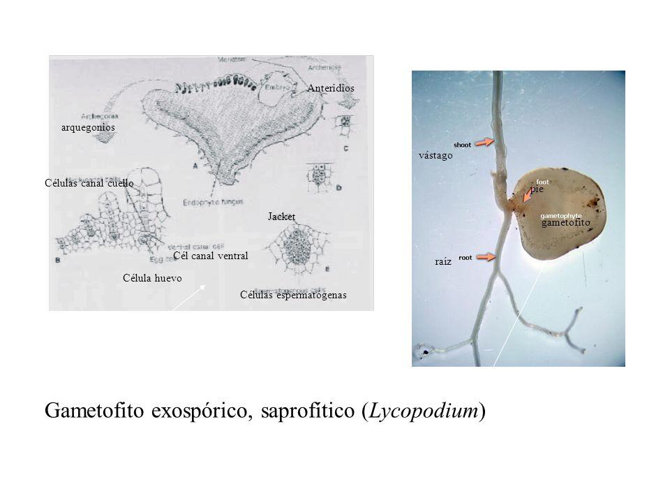 Anteridios arquegonios Célula huevo Cél canal ventral Células canal cuello Células espermatógenas Jacket raíz gametofito pie vástago Gametofito exospó