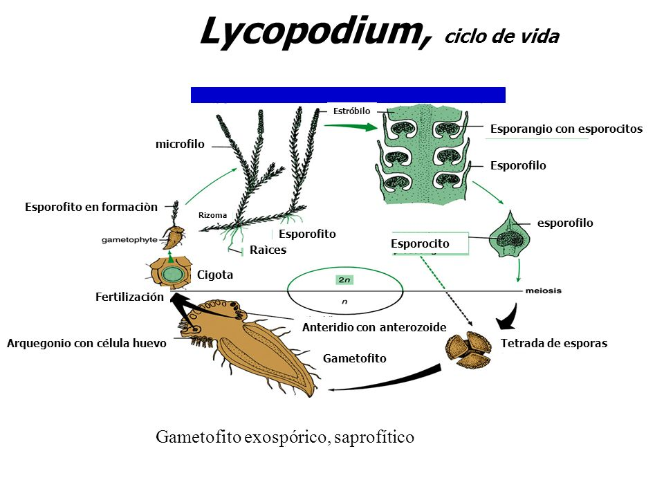 Lycopodium, ciclo de vida Estróbilo Gametofito exospórico, saprofítico esporofilo Raìces Rizoma Esporofito en formaciòn Gametofito Cigota Fertilizació