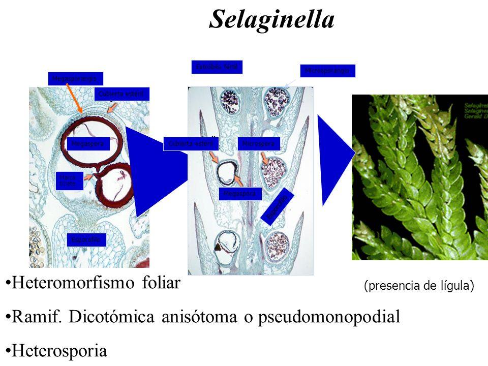 Heteromorfismo foliar Ramif. Dicotómica anisótoma o pseudomonopodial Heterosporia Selaginella (presencia de lígula) Cubierta estéril Megaspora Esporof