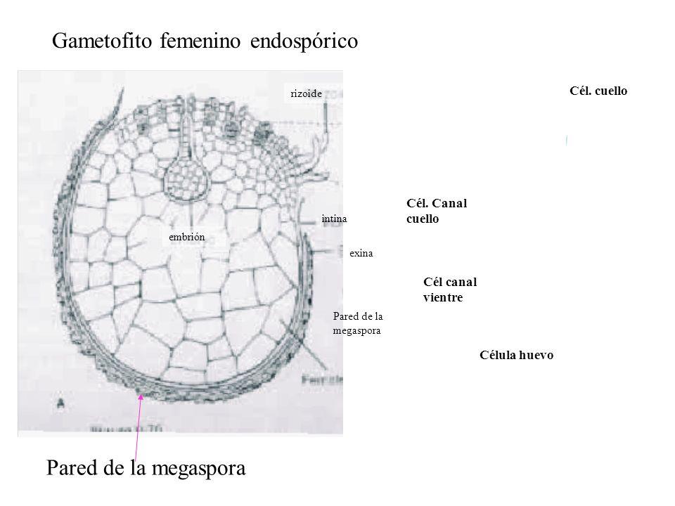 intina exina Pared de la megaspora Cél canal vientre Cél. Canal cuello Cél. cuello rizoide embrión Célula huevo Gametofito femenino endospórico Pared
