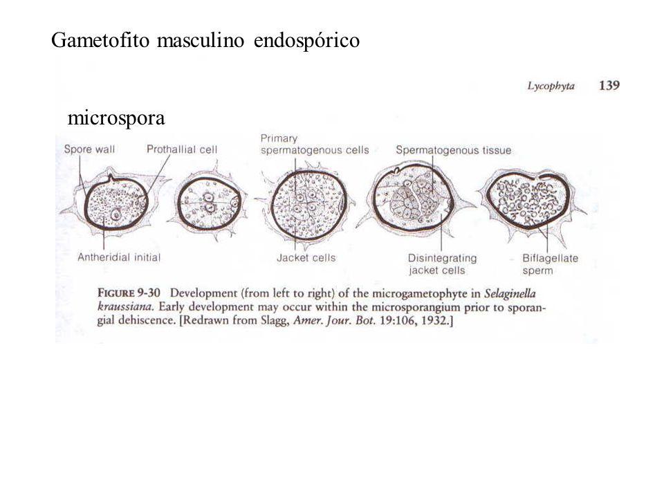 Gametofito masculino endospórico microspora