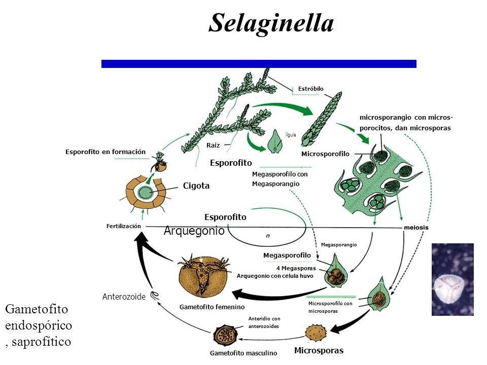 Gametofito endospórico, saprofítico Megasporofilo con Megasporangio Raíz Esporofito en formación Gametofito masculino Cigota Fertilización Arquegonio
