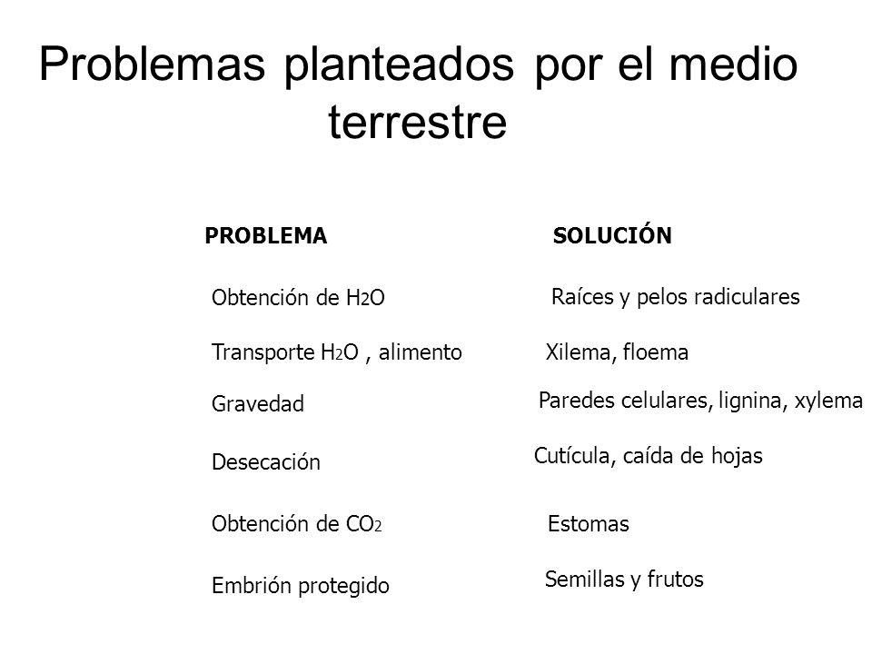 Problemas planteados por el medio terrestre PROBLEMA SOLUCIÓN Obtención de H 2 O Raíces y pelos radiculares Transporte H 2 O, alimento Xilema, floema