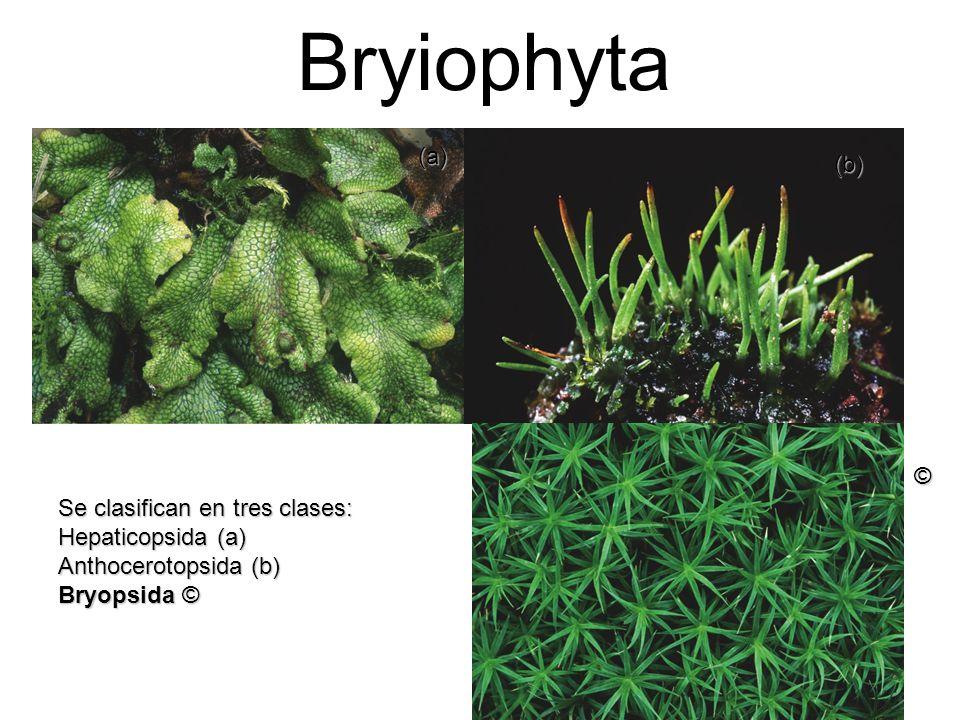 Bryiophyta Se clasifican en tres clases: Hepaticopsida (a) Anthocerotopsida (b) Bryopsida © (a) (b) ©