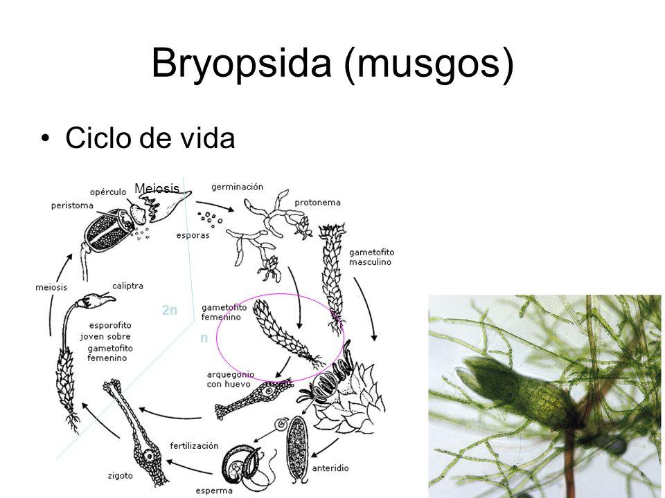 Bryopsida (musgos) Ciclo de vida 2n n Meiosis