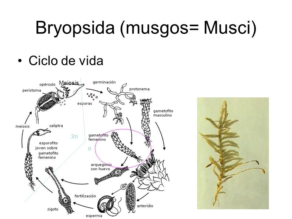 Bryopsida (musgos) Ciclo de vida 2n n Meiosis Cubierta anteridial o jacket Tejido fértil