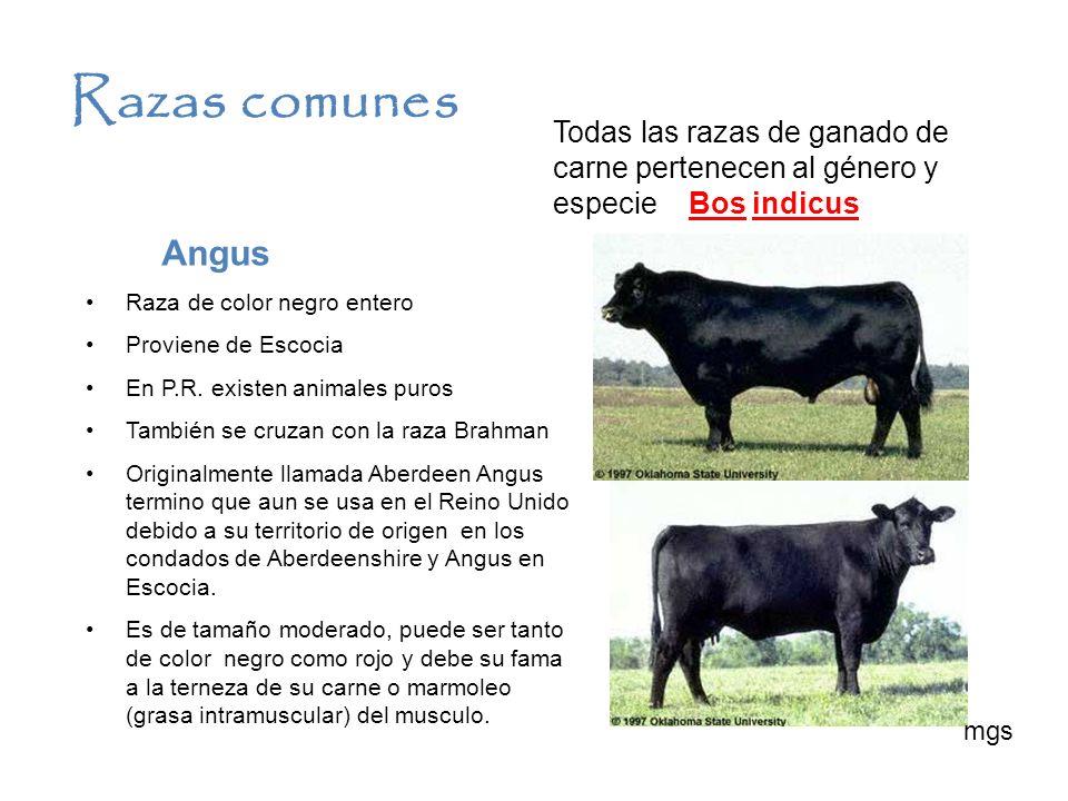 Razas comunes Angus Raza de color negro entero Proviene de Escocia En P.R. existen animales puros También se cruzan con la raza Brahman Originalmente