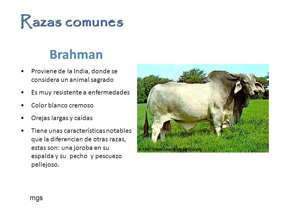Razas comunes Brahman Proviene de la India, donde se considera un animal sagrado Es muy resistente a enfermedades Color blanco cremoso Orejas largas y