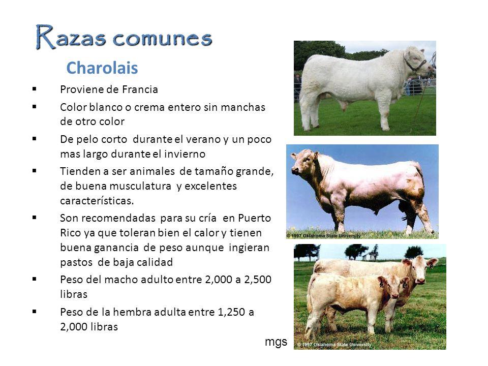 Charolais Proviene de Francia Color blanco o crema entero sin manchas de otro color De pelo corto durante el verano y un poco mas largo durante el inv