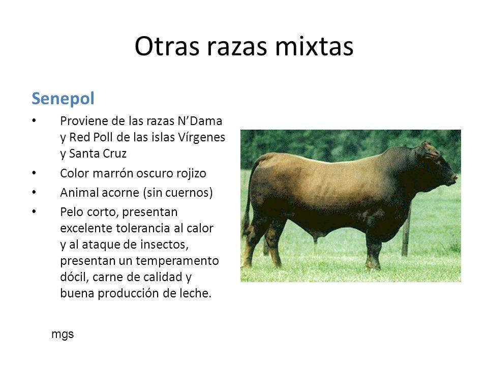 Senepol Proviene de las razas NDama y Red Poll de las islas Vírgenes y Santa Cruz Color marrón oscuro rojizo Animal acorne (sin cuernos) Pelo corto, p