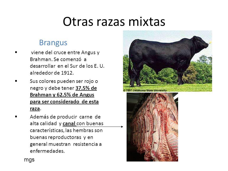 Brangus viene del cruce entre Angus y Brahman. Se comenzó a desarrollar en el Sur de los E. U. alrededor de 1912. Sus colores pueden ser rojo o negro