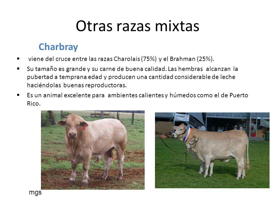 Otras razas mixtas Charbray viene del cruce entre las razas Charolais (75%) y el Brahman (25%). Su tamaño es grande y su carne de buena calidad. Las h