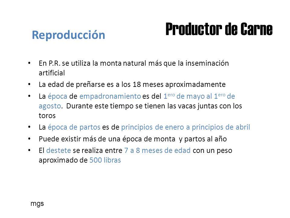 Productor de Carne Reproducción En P.R. se utiliza la monta natural más que la inseminación artificial La edad de preñarse es a los 18 meses aproximad