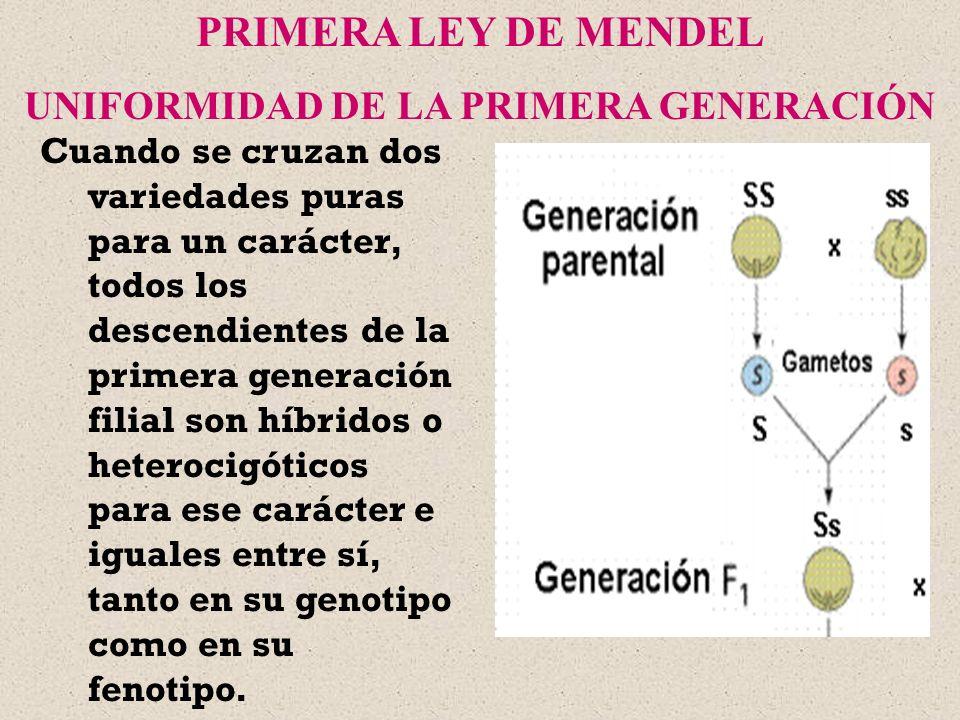 Cuando se cruzan dos variedades puras para un carácter, todos los descendientes de la primera generación filial son híbridos o heterocigóticos para es