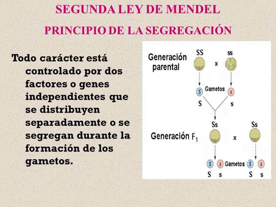 Todo carácter está controlado por dos factores o genes independientes que se distribuyen separadamente o se segregan durante la formación de los gamet