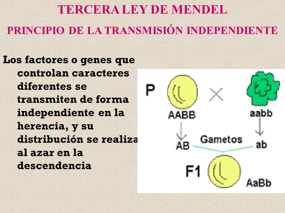 Los factores o genes que controlan caracteres diferentes se transmiten de forma independiente en la herencia, y su distribución se realiza al azar en
