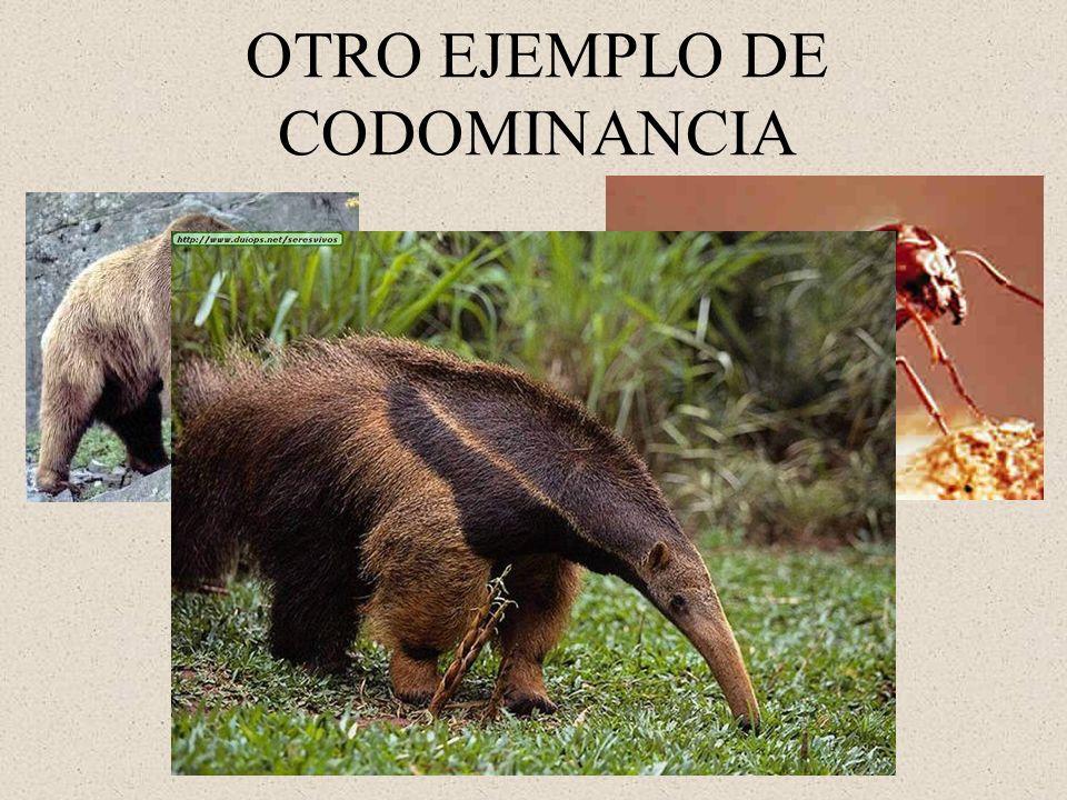 OTRO EJEMPLO DE CODOMINANCIA