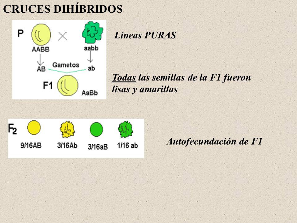 CRUCES DIHÍBRIDOS Líneas PURAS Todas las semillas de la F1 fueron lisas y amarillas Autofecundación de F1