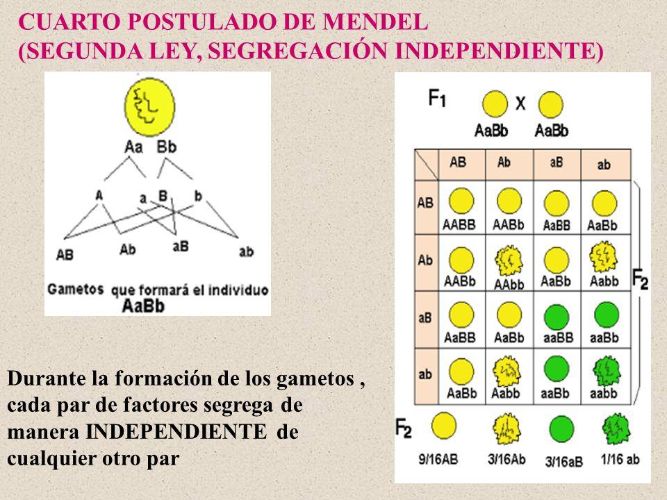 CUARTO POSTULADO DE MENDEL (SEGUNDA LEY, SEGREGACIÓN INDEPENDIENTE) Durante la formación de los gametos, cada par de factores segrega de manera INDEPE