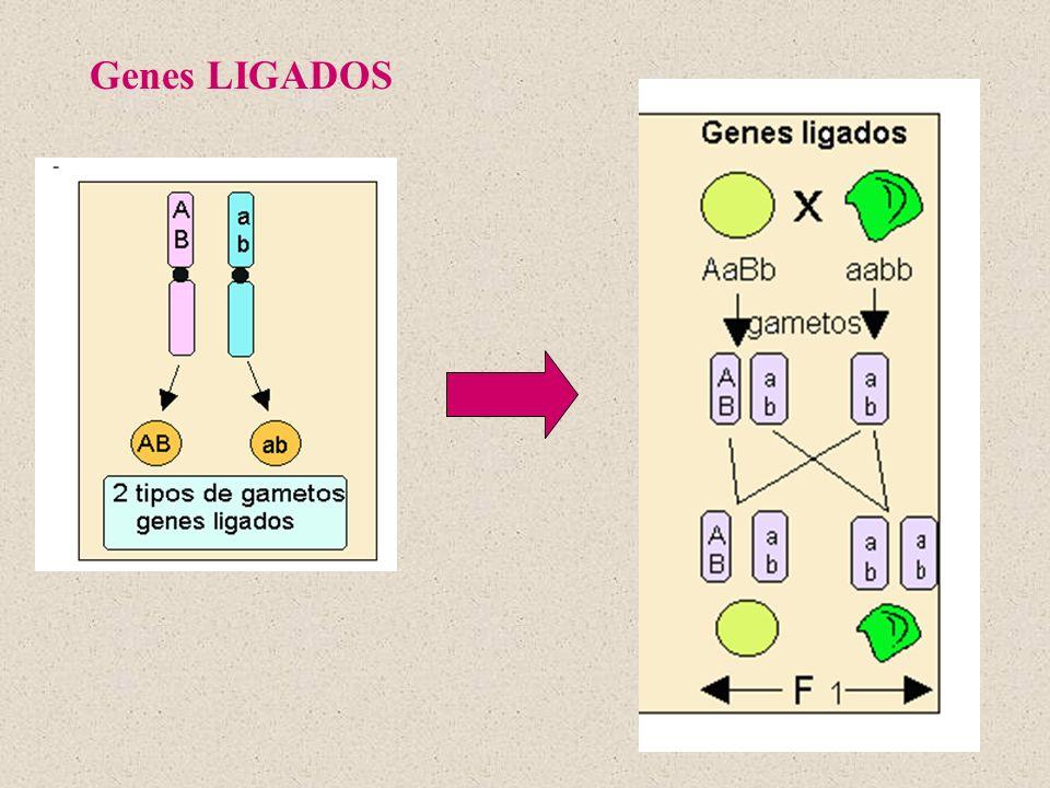 Genes LIGADOS