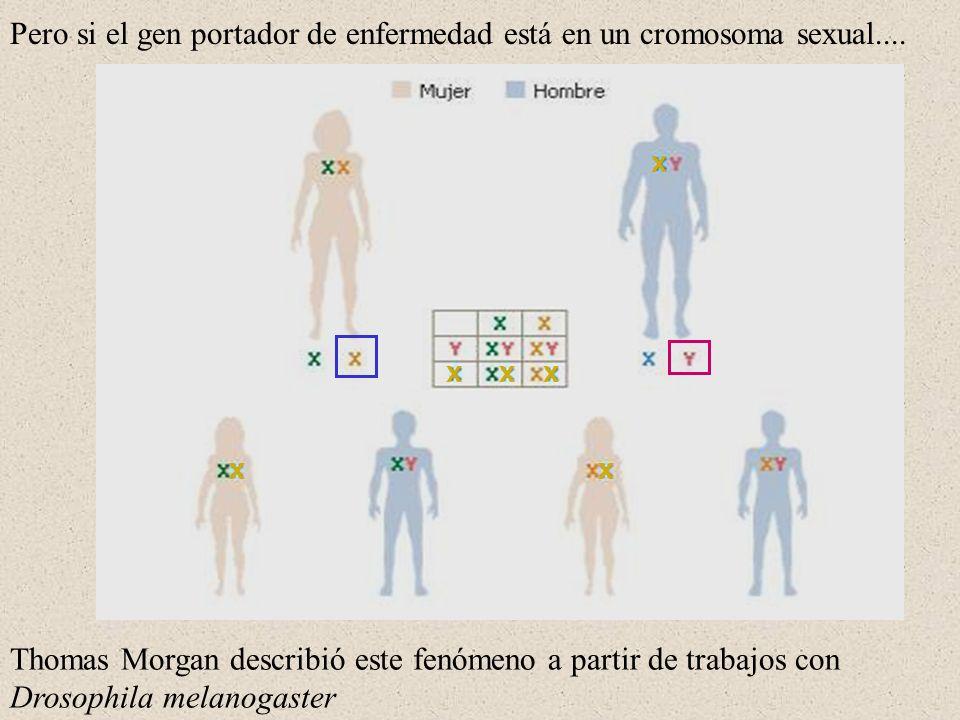 Pero si el gen portador de enfermedad está en un cromosoma sexual.... X XX X XX Thomas Morgan describió este fenómeno a partir de trabajos con Drosoph