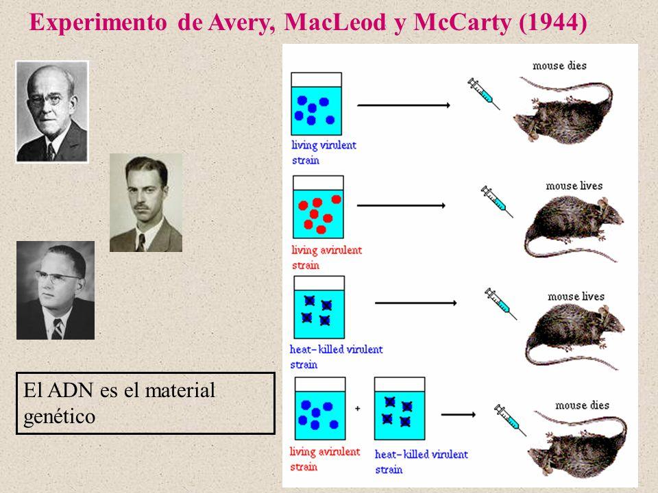Experimento de Avery, MacLeod y McCarty (1944) El ADN es el material genético