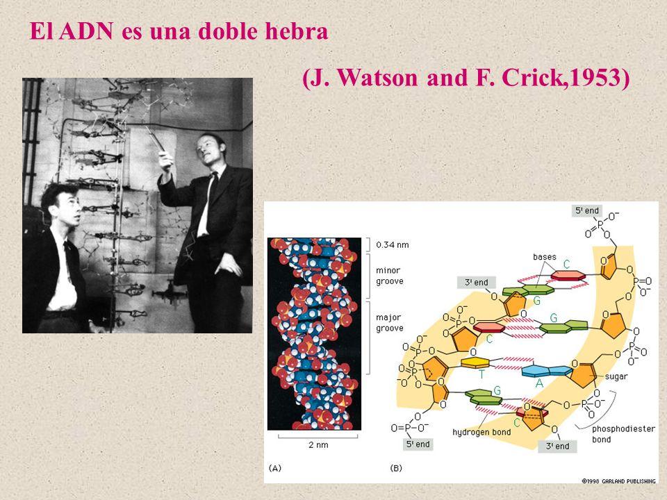 El ADN es una doble hebra (J. Watson and F. Crick,1953)