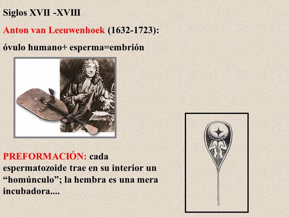 Siglos XVII -XVIII Anton van Leeuwenhoek (1632-1723): óvulo humano+ esperma=embrión PREFORMACIÓN: cada espermatozoide trae en su interior un homúnculo