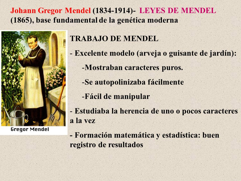 Johann Gregor Mendel (1834-1914)- LEYES DE MENDEL (1865), base fundamental de la genética moderna TRABAJO DE MENDEL - Excelente modelo (arveja o guisa