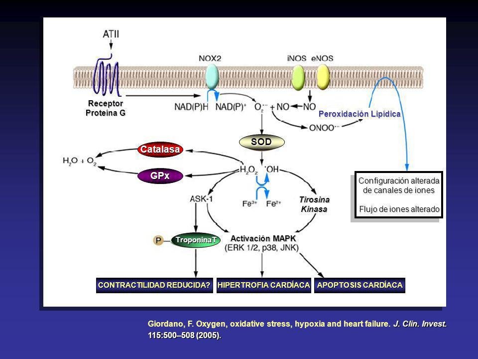 ROS O2- H202 GuanilatoCiclasa VASODILATACION OONO- NO N2O3 Estrés Nitrosativo VASOCONSTRICCION ProtecciónInjuria ESTRES OXIDATIVO Bernardo Rodriguez I