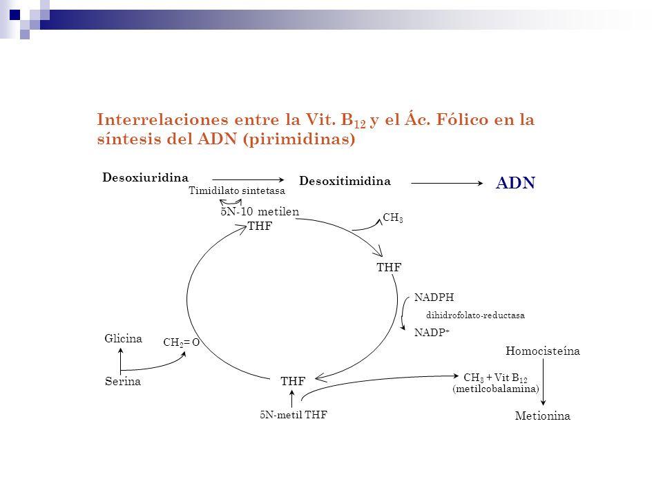 Interrelaciones entre la Vit. B 12 y el Ác. Fólico en la síntesis del ADN (pirimidinas) Desoxiuridina Desoxitimidina ADN Timidilato sintetasa Homocist