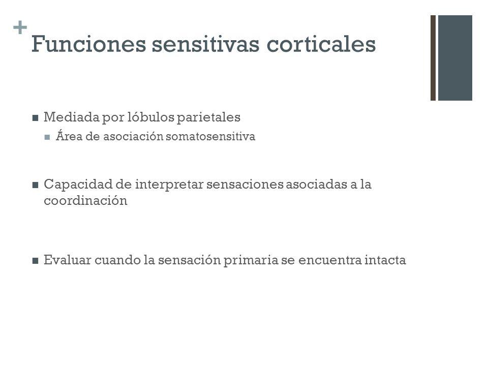 + Funciones sensitivas corticales Mediada por lóbulos parietales Área de asociación somatosensitiva Capacidad de interpretar sensaciones asociadas a l